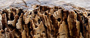 Infestacion-carcoma-control-de-madera-sanitersur